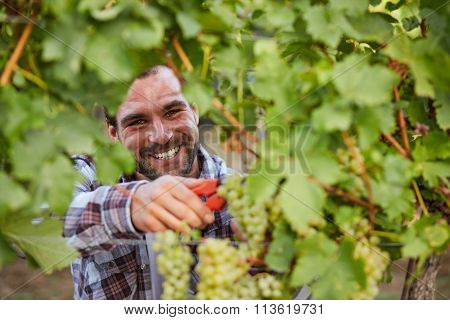 Winemaker Harvesting Green Grapes In Vineyard