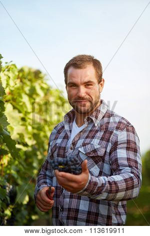 Farmer With Secateurs And Freshly Blue Grapes At Harvest