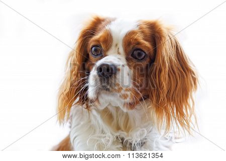 King Charles Spaniel On White Background