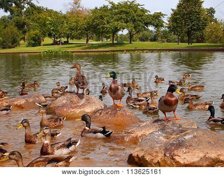 Duck Congregation