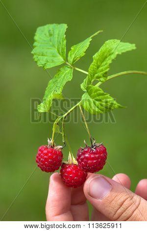 Hand Picking Berries Of Raspberries