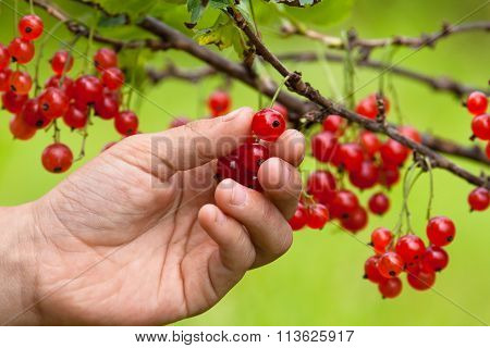 Hand Picking Berries Of Red Currant, Closeup