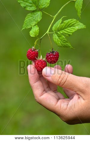 Hand Picking Ripe Berries Of Raspberries