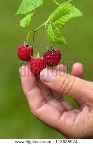 Hand With Berries Of Raspberries