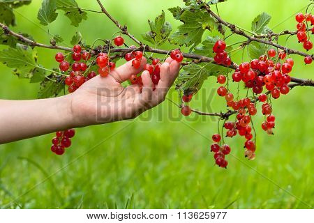 Hand With Red Currant
