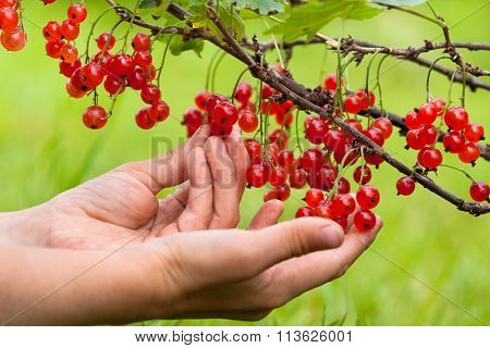 Hands Picking Berries Of Red Currant