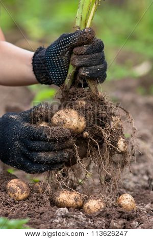 Women Hands In Gloves Holding Digging Bush Potato