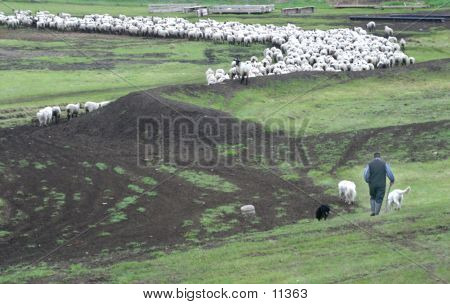 A Shepard And Sheep