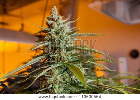 Indoor Marijuana bud under lights. This image shows the warm lights needed to cultivate marijuana.
