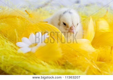 Chick Portrait