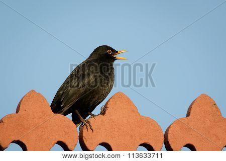 Male Blackbird (turdus Merula)