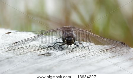 Male Black Darter (sympetrum Danae)