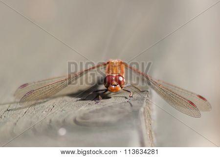 Male Common Darter (sympetrum Striolatum)