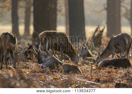 Herd Of Red Deer (cervys Elaphus)
