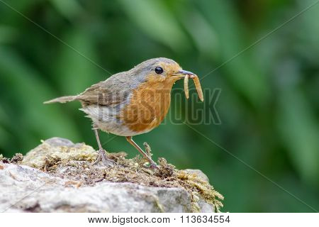 European Robin (erithacus Rubecula) With Mealworms