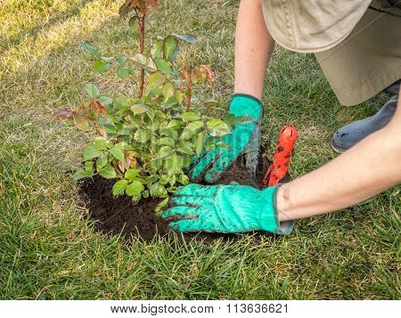 Female gardener planting rose shrub in the dug hole in her backyard garden
