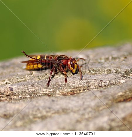 Hornet On A Wooden Bark