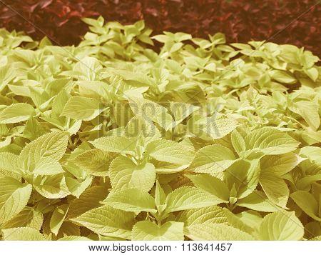 Retro Looking Coleus Nettle Plant