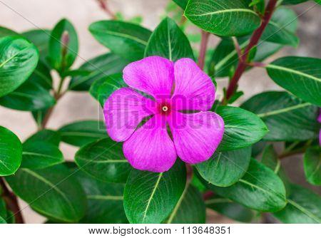 A beautiful pink vinca flowers (madagascar periwinkle)