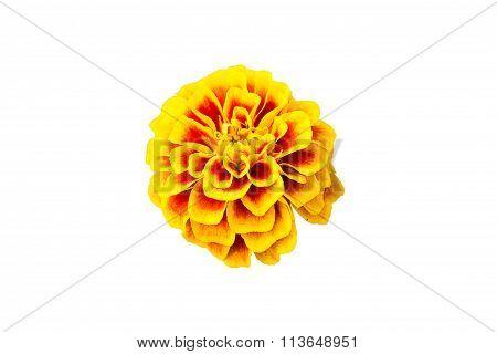 Marigolds isolated on white background