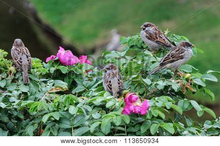 Sparrows Sitting On A Green Bush