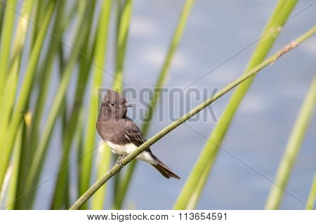 The Wild Black Phoebe Perching On The Grasses At Malibu