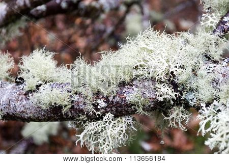 Lichens On Tree Branches