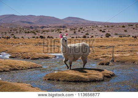 Llama On Meadow