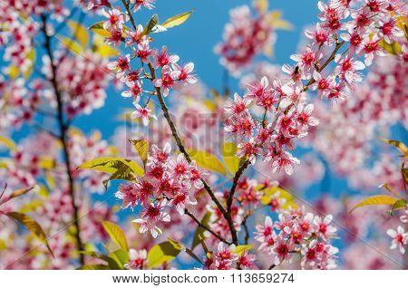 Wild-Himalayan-Cherry, Chiangmai Thailand