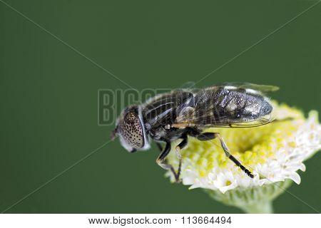 Large Spotty-eyed Dronefly {eristalinus Aeneus) On A Flower