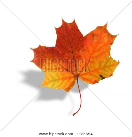 Multicolored Maple Leaf With Shadow