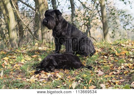 Pair Of The  Giant Schnauzer Dog In Autumn Sunny Day
