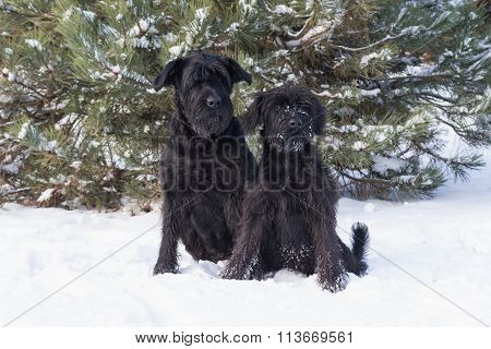 Portrait Of A Pair Of Schnauzer Dog On Snow