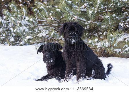 Pair of Schnauzer Dog On Snow