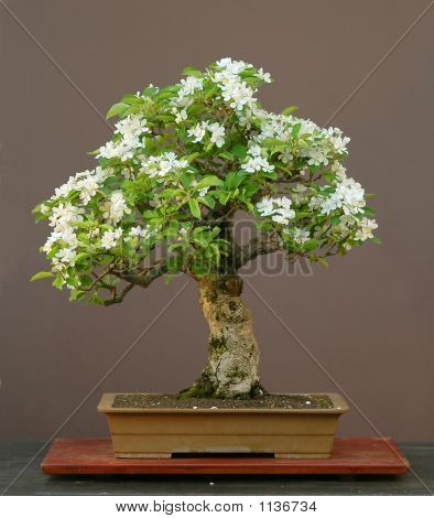Apple Bonsai In Full Bloom