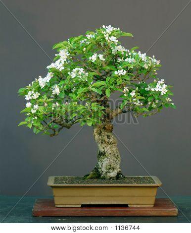 Apple Bonsai In Bloom