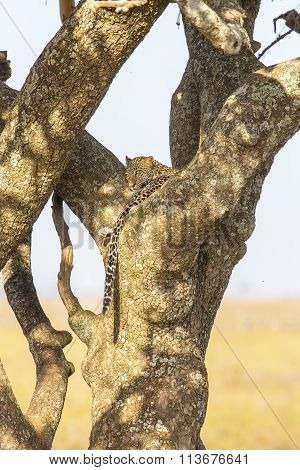 Leopard rests in a tree after meal