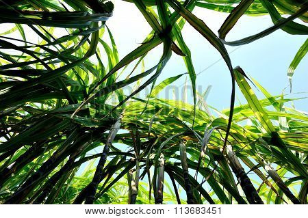 closuep of sugarcane plants in growth at field