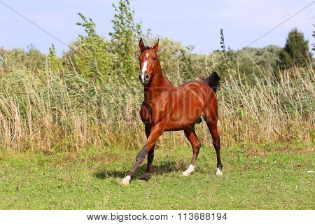 Purebred Arabian Horse Galloping Across A Green Summer Pasture