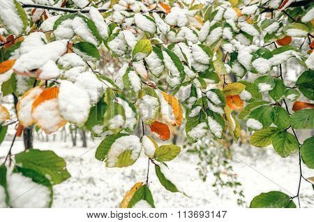 Autumn tree branches under the snow.
