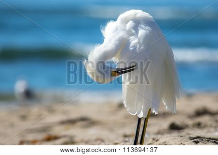 The Snowy Egret Is Preening At Malibu Beach