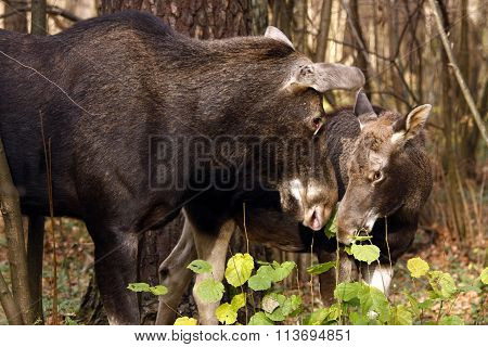 Elk Cow And Calf Outdoors (lat. Alces Alces )