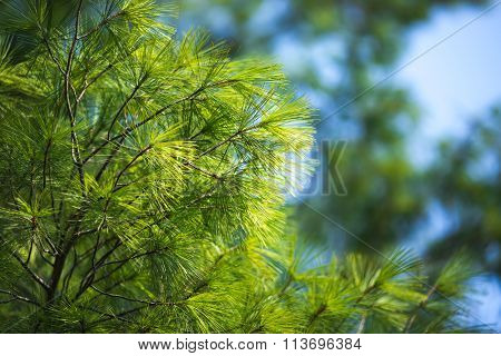 Pine Tree In The Wood Agains The Blue Sky As A Background