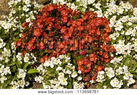 White And Red Begonia