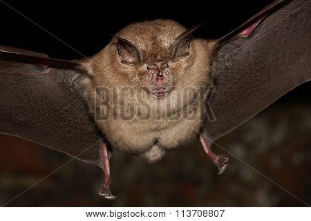 Greater Horseshoe Bat Flight