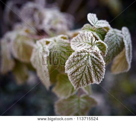 Frozen Rasberry Leaves