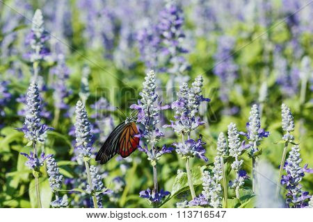 Monarch Butterfly On The  Lavender