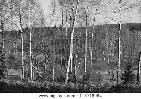 Birch Grove Landscape Of South Bohemia