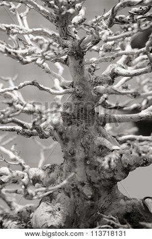 Bonsai. Tree Trunk.