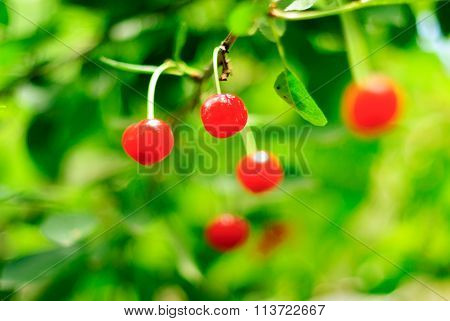 Cherry tree with fruits.